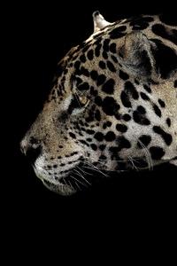 1080x2280 Jaguar Spotted Close 4k
