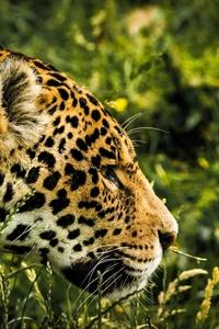 1080x2280 Jaguar Wild