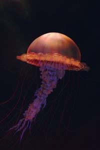 Jellyfish Illustration 4k