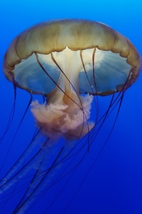 Jellyfish Underwater 4k