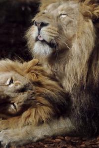 Joyful Lions