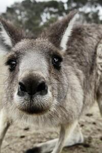 Kangaroo Funny