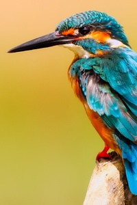 Kingfisher Macro