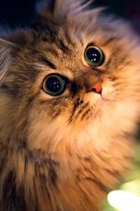 720x1280 Kitten