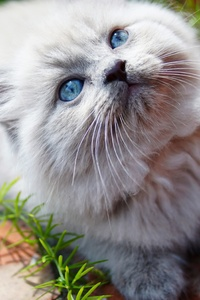 320x480 Kitty Blue Eyes 5k