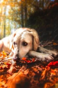 1280x2120 Labrador Retriever Resting