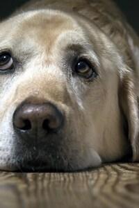 1125x2436 Labrador Sad