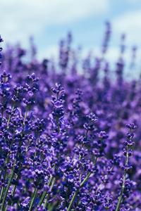 240x400 Lavender 5k