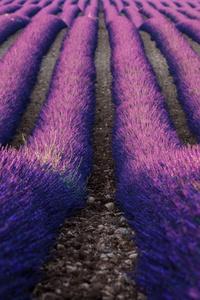 Lavender Farm 5k
