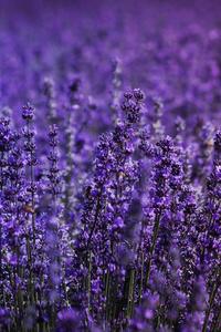 800x1280 Lavender Field 5k