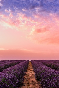 750x1334 Lavender Field Under Pink Sky 5k