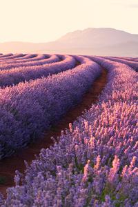 320x480 Lavender Fields