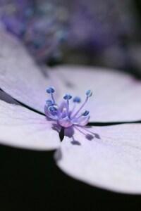 320x480 Lavender Flower Petals