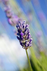 Lavender Flowers HD