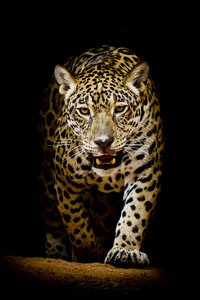 540x960 Leopard 4k Black Background
