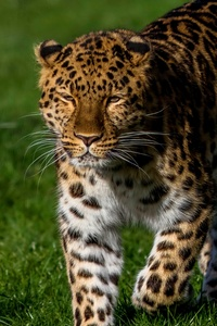 Leopard 4k