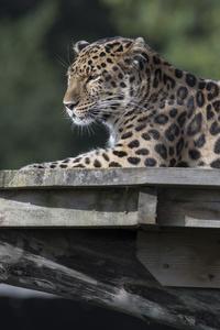 720x1280 Leopard Animal 4k