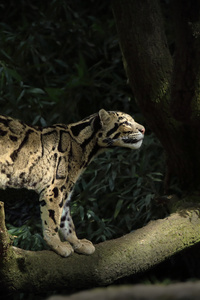 Leopard Silent Walk 5k