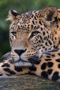 1080x2280 Leopard Ultra Hd 4k