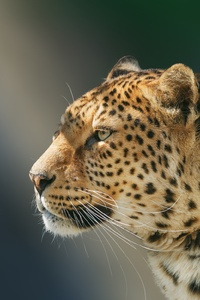 720x1280 Leopard Wild Animal