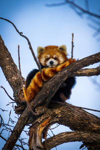 1080x2280 Lesser Panda 5k