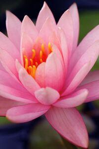 320x480 Lily Flower