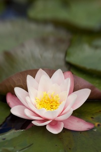 1080x2280 Lily Flower Water 5k