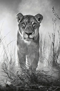 Lion 4k Black And White