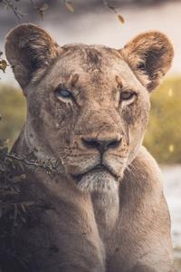 Lion 4k Lake