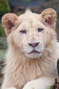 Lion Big Cats 4k