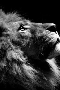 640x960 Lion Black And White