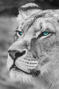 Lion Blue Eyes Monochrome 5k