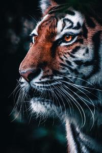 480x854 Lion Closeup 4k