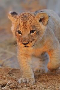 720x1280 Lion Cub Walking