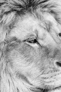 750x1334 Lion Monochrome