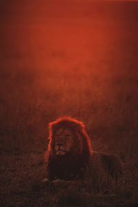 720x1280 Lion On Green Grass During Golden Hour 4k