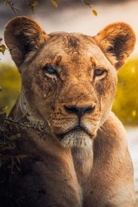 1080x2160 Lion Predator Predator