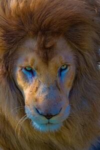 1242x2688 Lion Predator