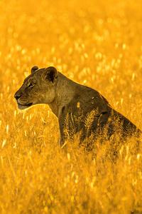 640x1136 Lioness Big Cat 4k