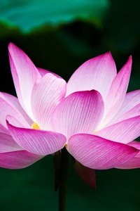 540x960 Lotus Flower 4k