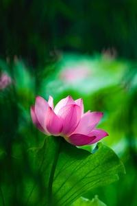 640x1136 Lotus Macro 4k