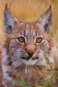 Lynx 5k
