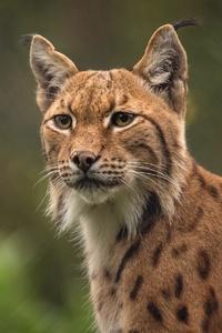 1242x2688 Lynxes 4k