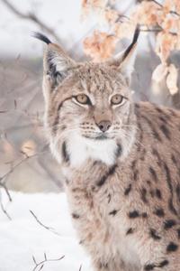 480x800 Lynxes 5k