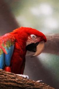 1080x2160 Macaw Parrot Closeup