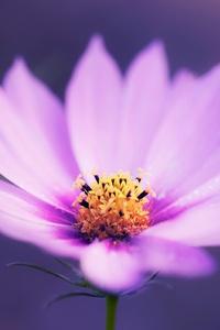 1440x2960 Macro Pink Flower