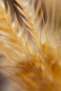 480x800 Macro Wheat 4k