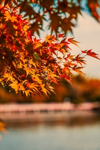 Maple Tree Autumn Lake 5k