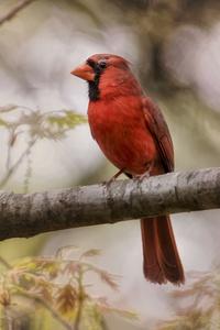 540x960 Northern Cardinal