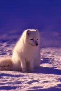 Norway Fox